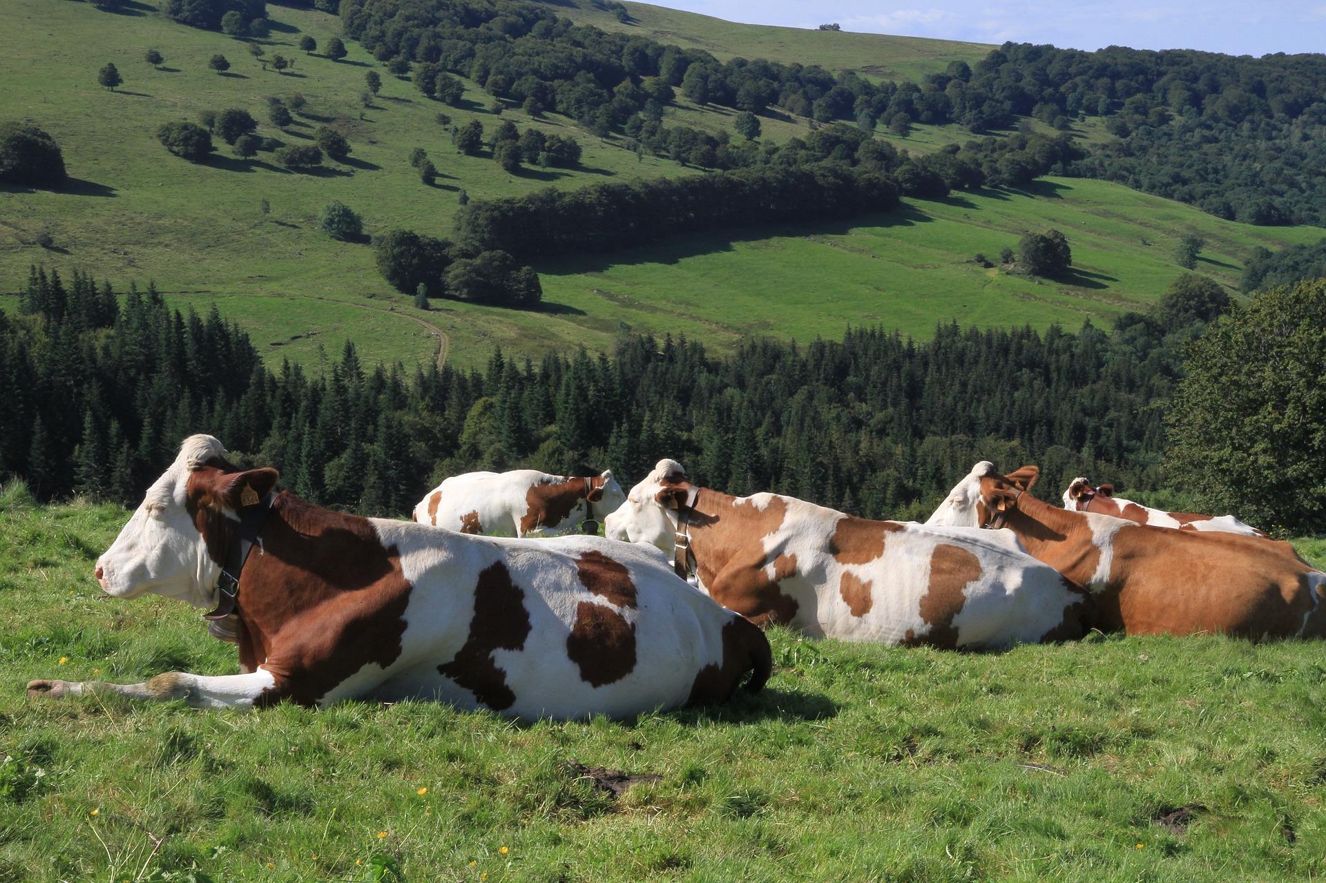cows-1972285_1920